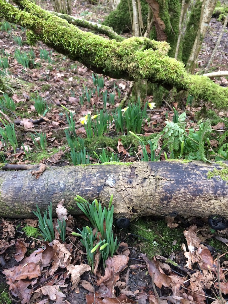 Bedford Wood daffodils, Somerset