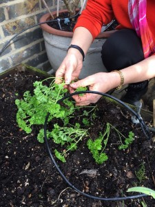 Dividing the parsley