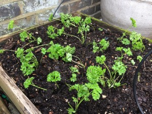 Parsley potager