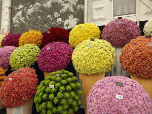 chrysanthemums, Chelsea Flower Show, floral pavilion