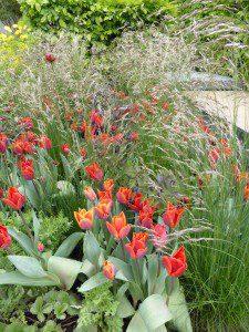tulips, grasses