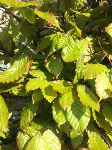 Beech-foliage-young-growth