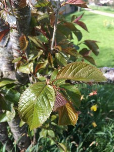 Flowering cherry leaves
