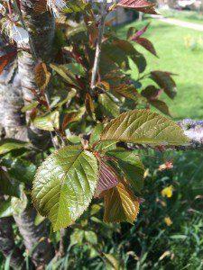 Flowering cherry leaves