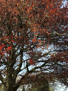 Copper beech foliage