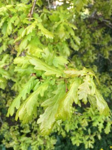 Oak-leaves-young-bright-green