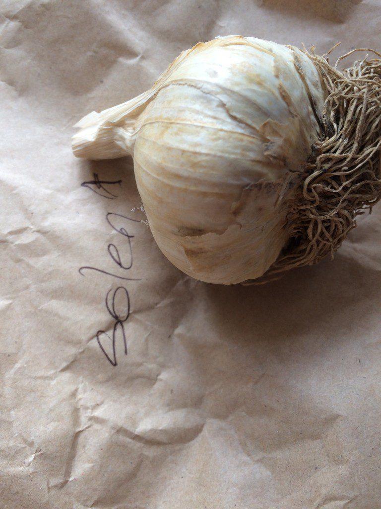 Garlic bulb, spring planting