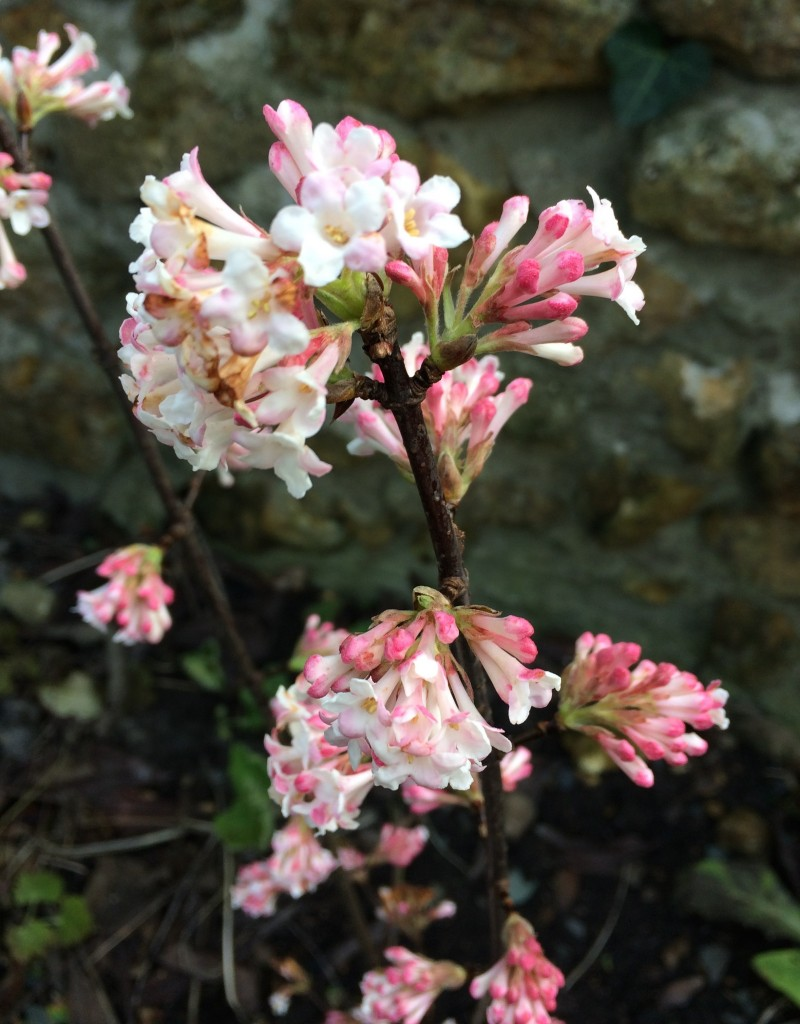 Pink viburnum blossom in January