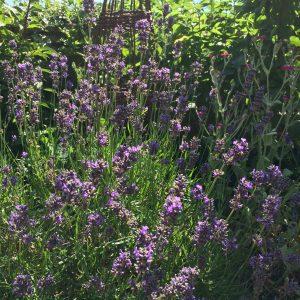 Lavender in flower, summer