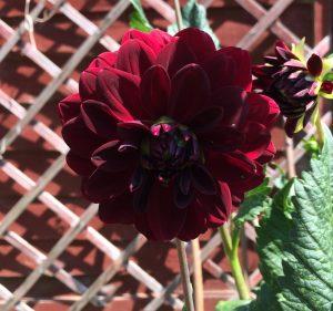 Dark red dahlia flower